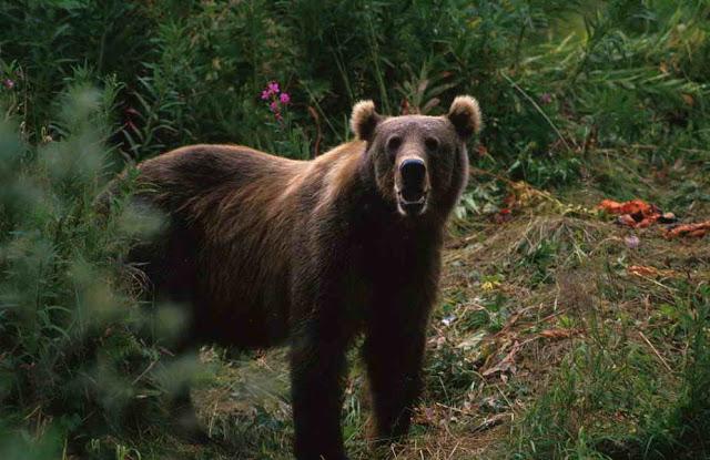 A Bear Hunt….Seriously